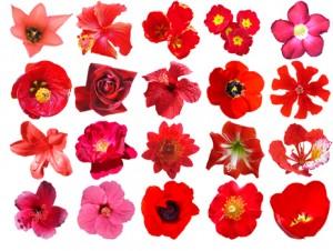 Flores Rojas Cortadas