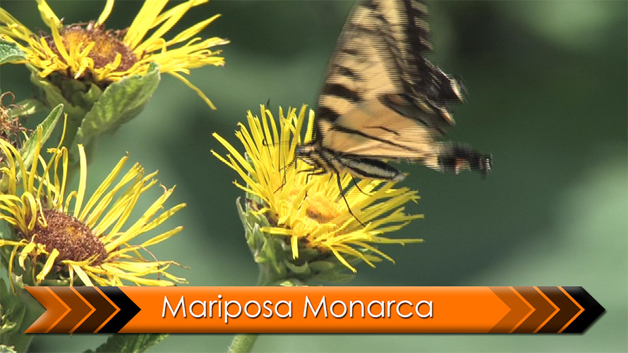 Video final de Mariposa Monarca